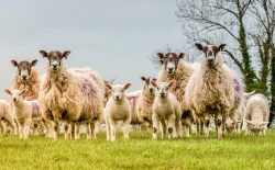 photo of a flock of sheep